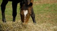 Horse eating hay © IStock Photos / Swisher 1115